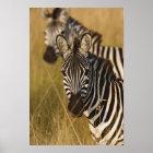 Burchells Zebra im hohen Sommergras, Masai Poster