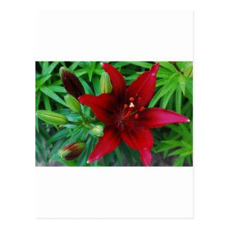 Burgunder-Lilie Postkarte