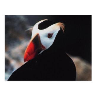 Büscheliger Papageientaucher Postkarte