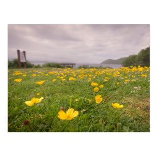 Butterblumeen in Schottland Postkarte