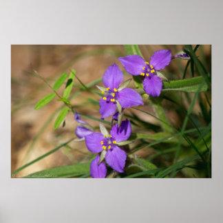 Cacade des violetten Hued Spiderwort-Plakats Poster
