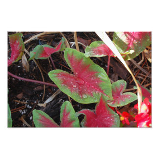 Caladium-Pflanzen-Foto Fotodruck