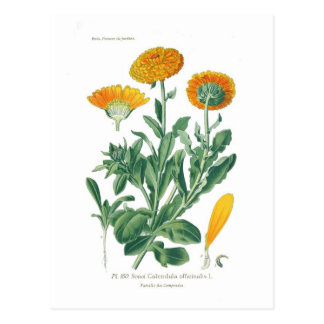 Calendula officinalis (Topfringelblume) Postkarte