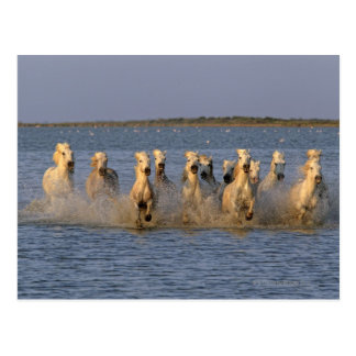 Camargue Pferd (Equus caballus) Postkarte