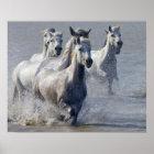 Camargue Pferde, die auf Marschland laufen, um zu  Poster
