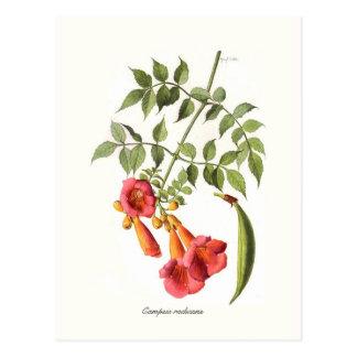Campsis radicans, Trompete-Rebe Postkarten
