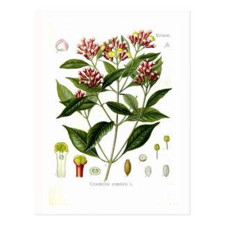 Caryophyllus aromaticus (Nelke) Postkarte