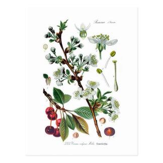 Cerasus gemein (Kirsche) Postkarte