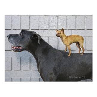 Chihuahua auf der Rückseite der Deutschen Dogge Postkarte