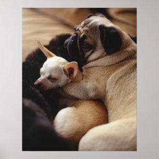 Chihuahua und Mops, Nahaufnahme schlafen Poster