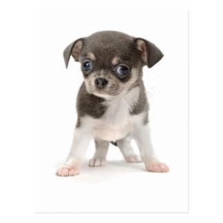 Chihuahuawelpe stehend vom weißen Hintergrund Postkarte