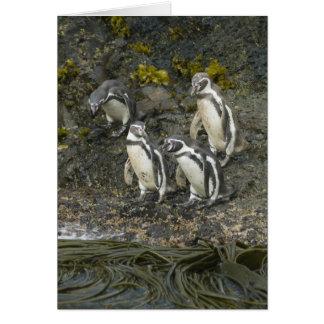 Chile, Chiloe Insel, Humboldt Penguins, Karte