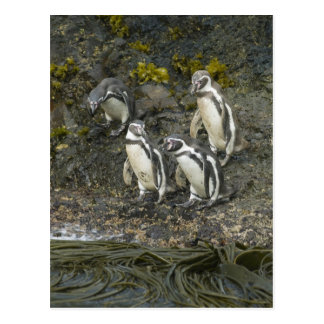 Chile, Chiloe Insel, Humboldt Penguins, Postkarte