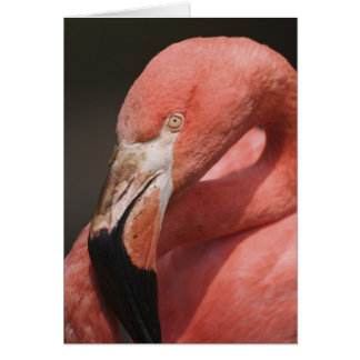 Chilenischer Flamingo, Phoenicopterus chilensis Karte