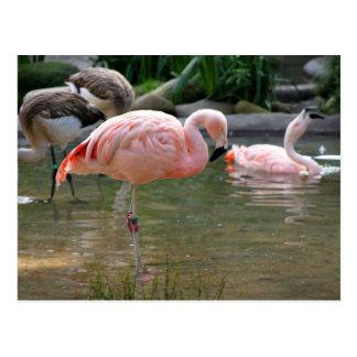 Chilenischer Flamingo Postkarten