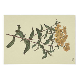 Chili-Ringelblumen-botanische Illustration Poster