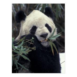 China, Wolong Naturreservat. Riesiger Panda Postkarte