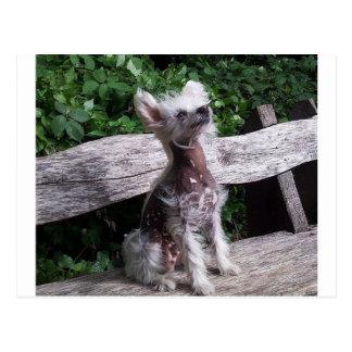 Chinese_Crested_Dog, das 2.jpg sitzt Postkarte