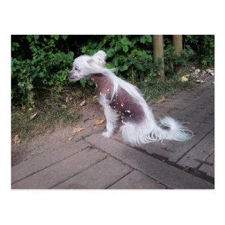 Chinese_Crested_Dog sitting.png Postkarte
