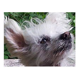 Chinese_Crested.png Postkarte