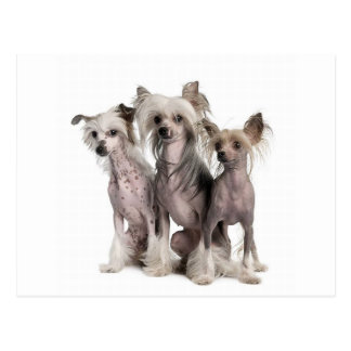 Chinese Crested Postkarte