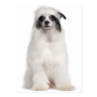 Chinesischer Hund mit Haube (7 Monate alte) Postkarte