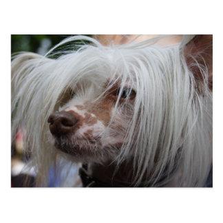Chinesischer Hund mit Haube Postkarten