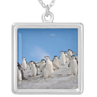 chinstrap Pinguine, Pygoscelis die Antarktis, Versilberte Kette