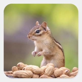 Chipmunk mit Erdnüssen Quadratischer Aufkleber