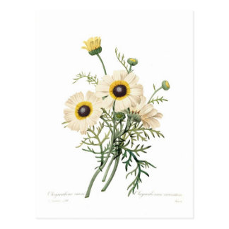 Chrysantheme carinatum postkarte