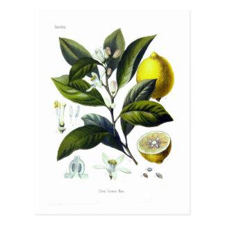 Citrus Limonum (Zitrone) Postkarte