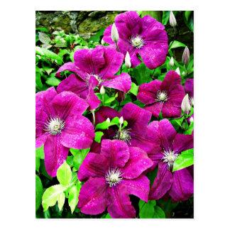 Clematis-Blumen Postkarte