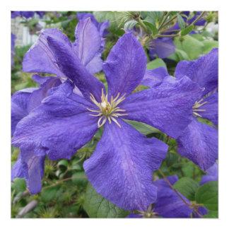 Clematis-lila grüne Blume Poster