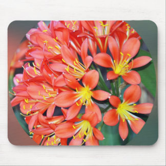 Clivia in voller Blüte Mousepad