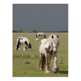Clydesdale Pferde auf einem Gebiet, Postkarte