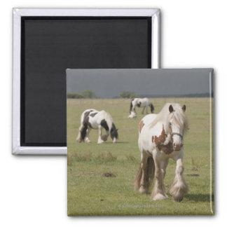 Clydesdale Pferde auf einem Gebiet, Quadratischer Magnet