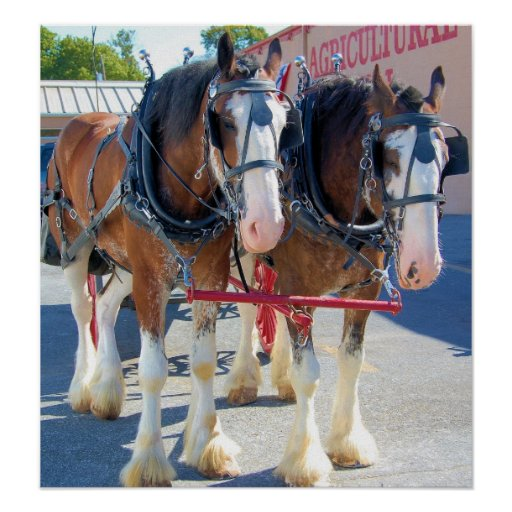 Clydesdale Pferde Plakatdrucke