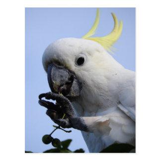 Cockatoo-Postkarte Schwefel-Mit Haube Postkarte