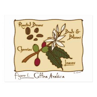 Coffea-Arabica Postkarte