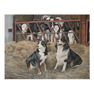 Collies und Kühe Postkarte