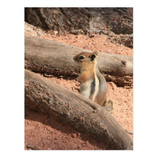Coloradogrundeichhörnchen Postkarte