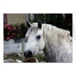 Connemara Pony Grußkarte