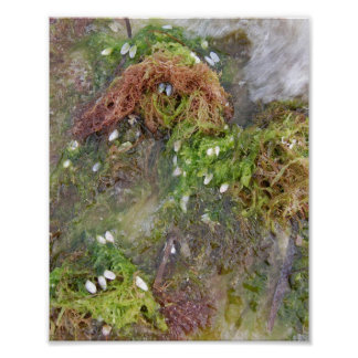 Coquina shell on seaweed poster