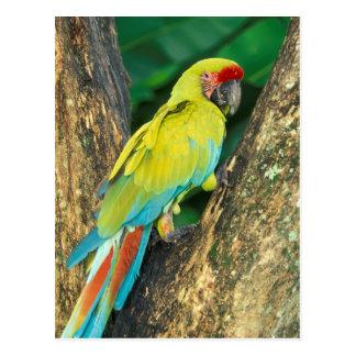 Costa Rica, Ara Ambigua, großer grüner Macaw. Postkarte