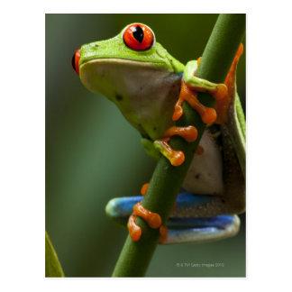 Costa Rica, Monteverde, Rot-Mit Augen Baum-Frosch Postkarte
