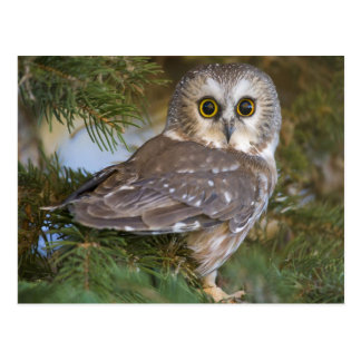 Cute Owl on fir tree Postkarte