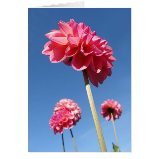 Dahlie, niedriger Winkel der hohen Blumen des Rosa Grußkarte