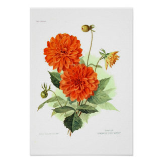 Dahlie-'orange Feuer King Poster