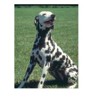 Dalmatiner Postkarte