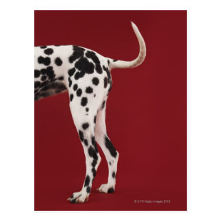 Dalmatiner-Rückseite Postkarte
